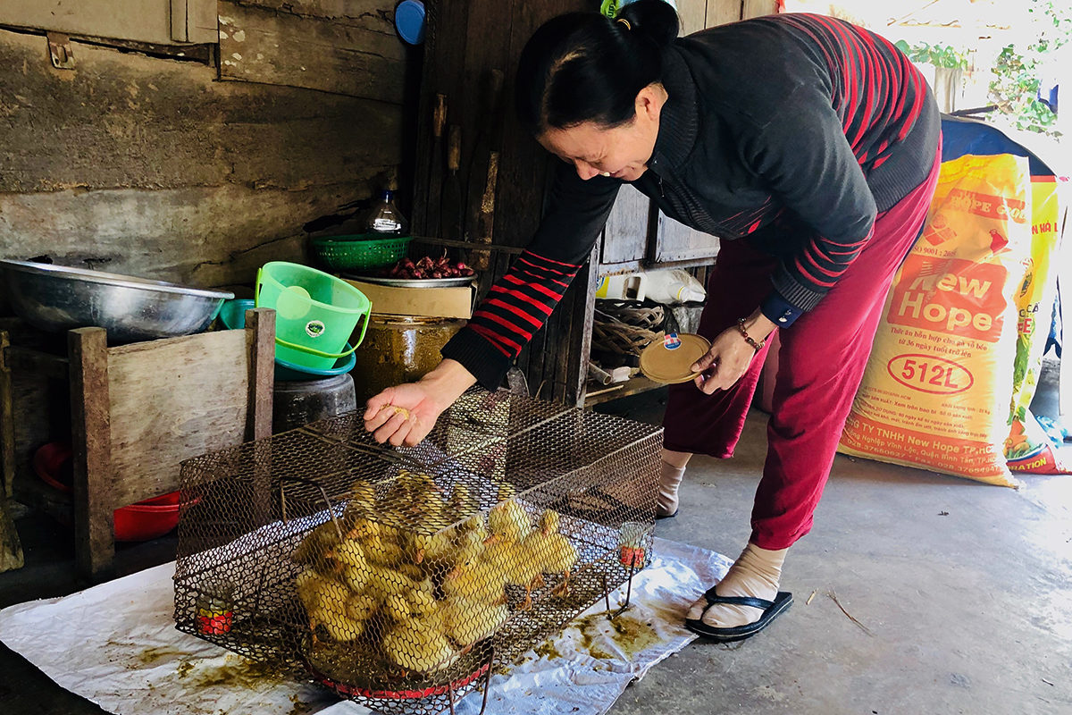 Alternative livelihoods, such as duck raising, are also promoted amongst farmers to secure greater diversity of income.